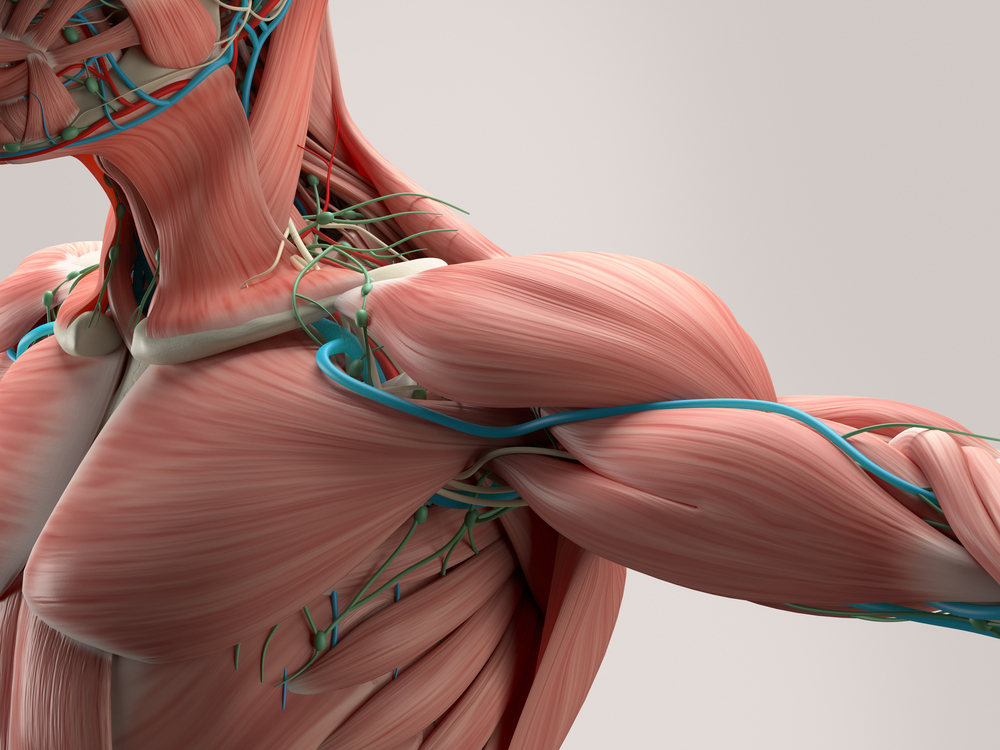 Muscle Problems In The Shoulder Joint The Buxton Osteopathy Clinic